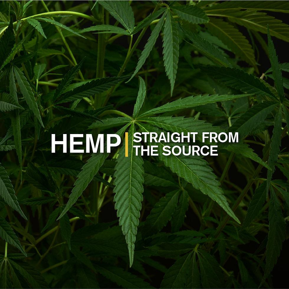 Hemp plant growing