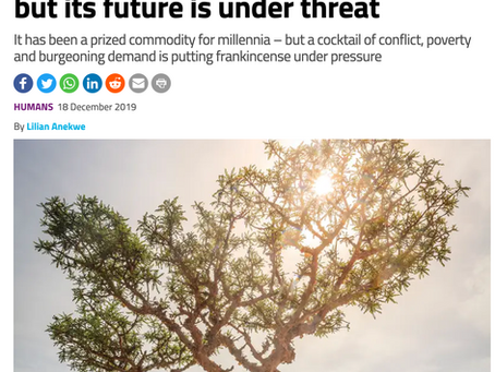 NewScientist: Frankincense is a holiday favorite, but its future is under threat