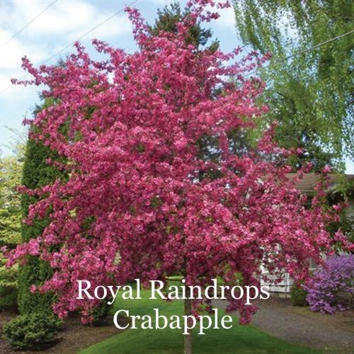 Royal Raindrops Crabapple