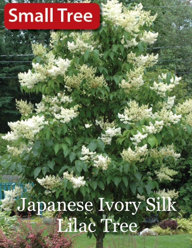 Japanese Ivory Silk Lilac Tree