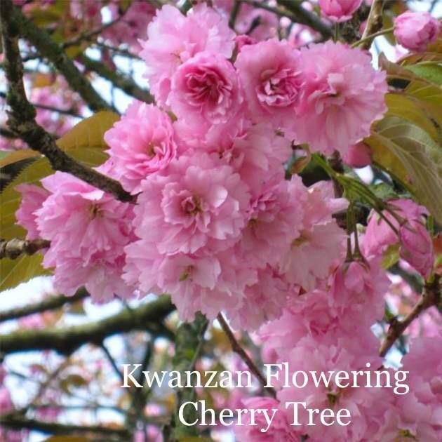Kwanzan Flowering Cherry Tree