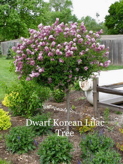 Dwarf Korean Lilac Tree