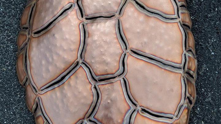 Copper Sea Turtle