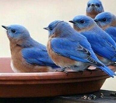 The Bluebirds