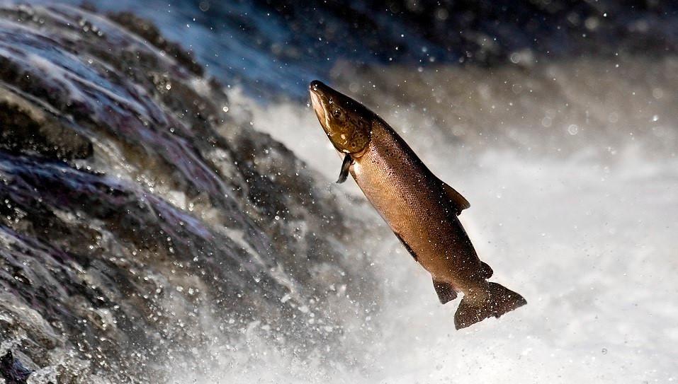 プロバイオティクス植物性飼料で養殖魚の成長率が高まった