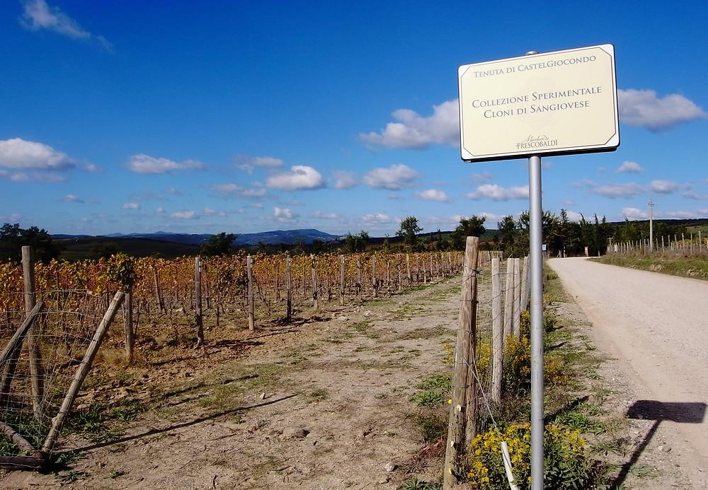 カステルジョコンドの試験栽培畑。80種のクローンが25本ずつ栽培されている。