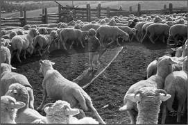Круг овец диаметром с кнут