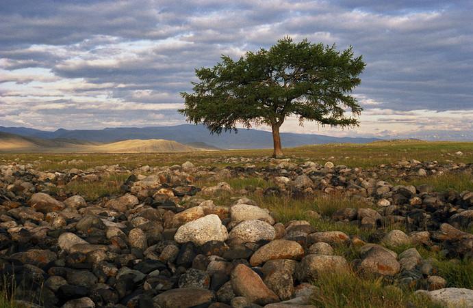 Дерево Юстыда на рассвете. Горный Алтай. 28.07.2006