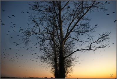 Стая грачей над лесополосой на окраине села Ильинка Новокузнецкий район. 1.10.2010