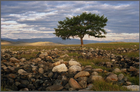 Единственное дерево Юстыда на рассвете. Горный Алтай