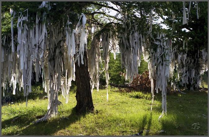 Дерево на Улаганском перевале. Горный Алтай. 8.07.2005