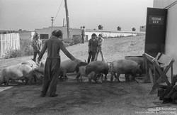 Загонщики на свиноферме.  Новокузнецк, 1983