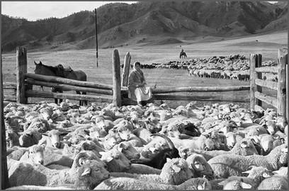 Загон для пересчета овец