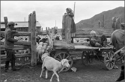 Пересчет овец