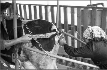 Осеменение на совхозной дойке. Совхоз «Еланский» Новокузнецкого района. 8.07.1983