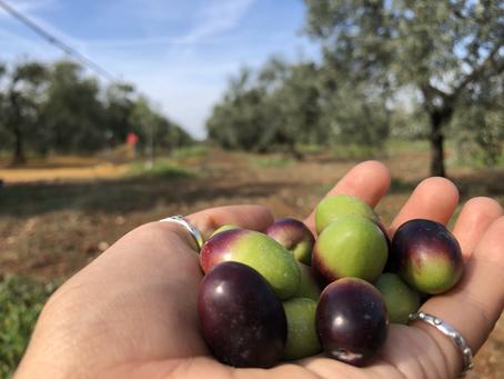 今年のオリーブオイルの収穫まで1週間