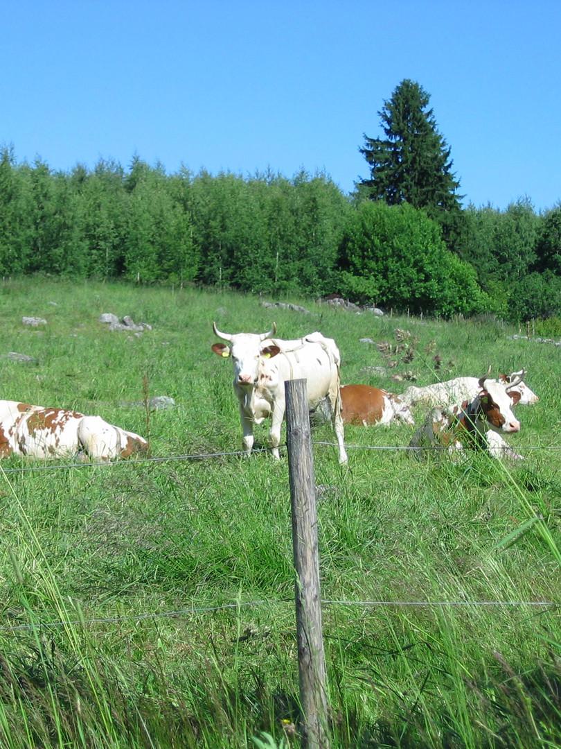 Finnish_countryside_pasture.JPG