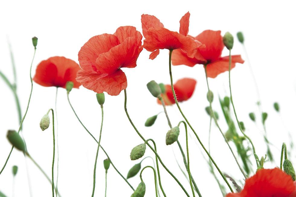 poppy-flower-1606077_1920.jpg