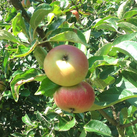 Apple Tree Grafting and Pruning Workshop