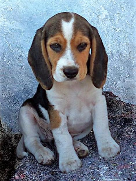 Diamond Dot Painting - Beagle Pup