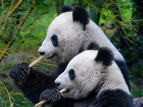 Diamond Dot Painting - Pandas