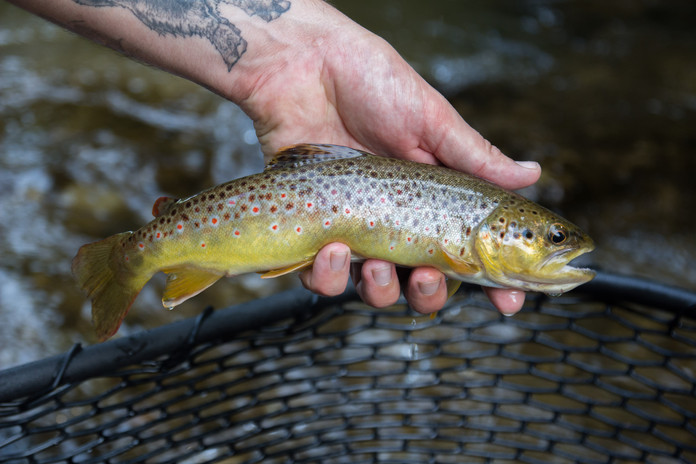 brown trout fishing Queen City Guiding_Buffalo NY
