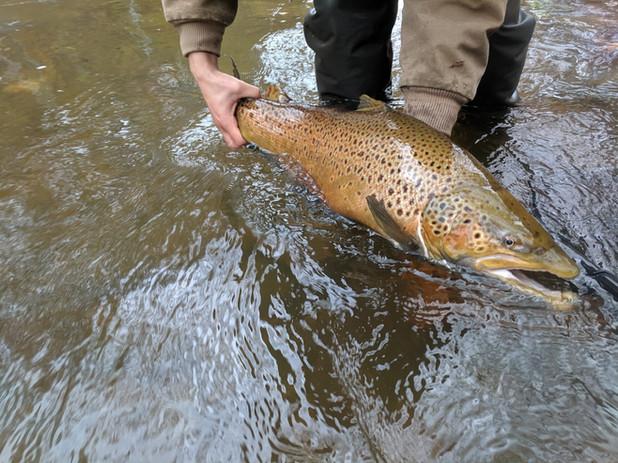 lake ontario lake run brown trout_Buffal