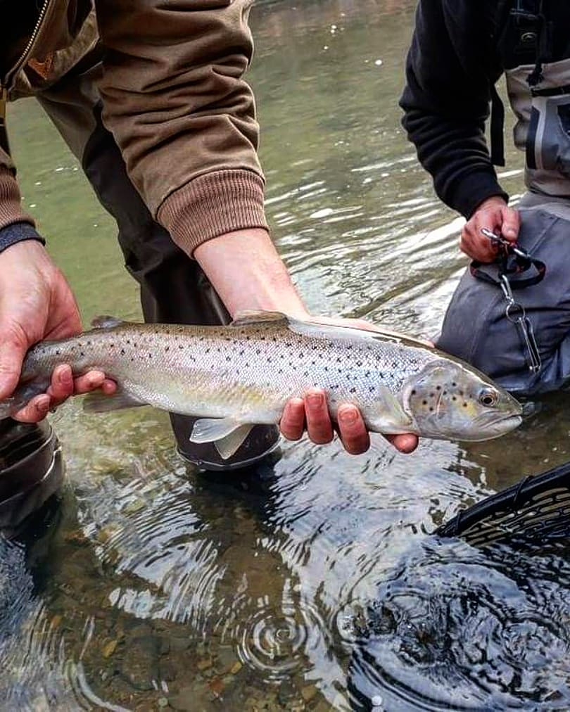 great lakes lake run ontario brown trout fly fishing western new york erie