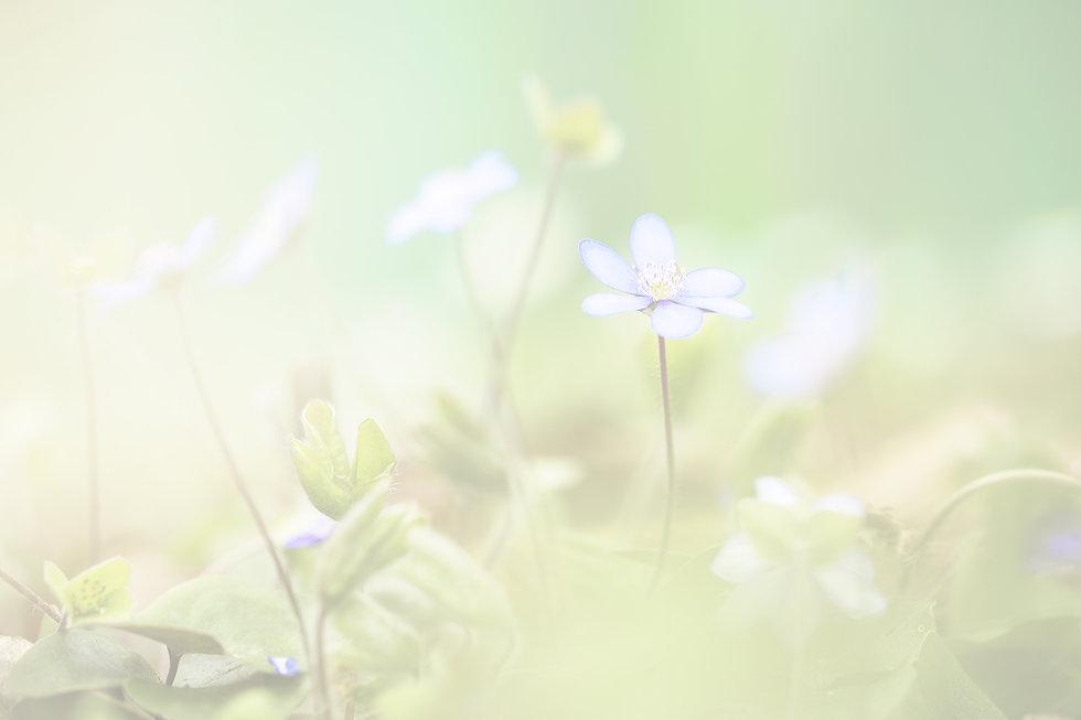 tomorrow blue flower trans2.jpg