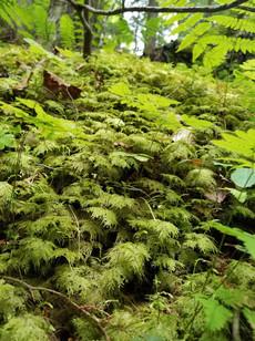 Stairstep moss (Hylocomium splendens)