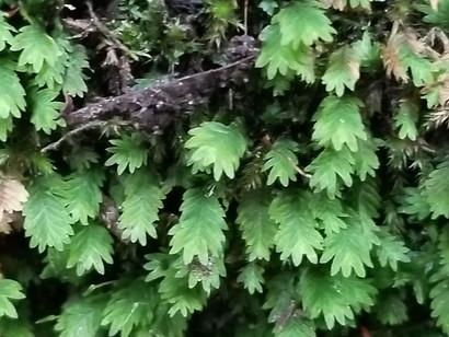 Maidenhair Pocket Moss (Fissidens adianthoides)