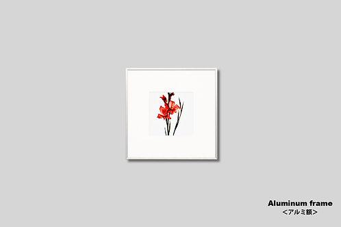 インテリア,写真,花,フラワー,インテリアフォト,正方形,アート,額入り,額装,オリジナルプリント,アートフレーム,フォトフレーム,おしゃれ,モダン,壁掛け,壁飾り,装飾,グラジオラス,赤い花