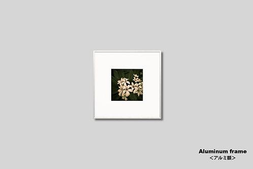 IGREBOW,インテリア,写真,花,ハワイ,プルメリア,正方形,フラワー,額縁,フレーム,インテリアフォト,アート,額入り,額装,オリジナルプリント,アートフレーム,新築祝い,プレゼント,おしゃれ,モダン,壁掛け,壁飾り,装飾