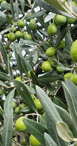 olivenast