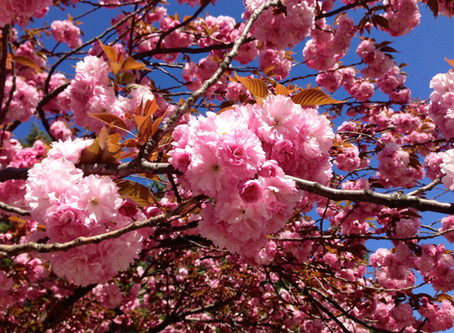 Cherry Blossom Festivals in the Tri-State Area