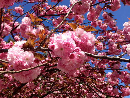 Cherry Blossom Festivals in the Tri-State Area