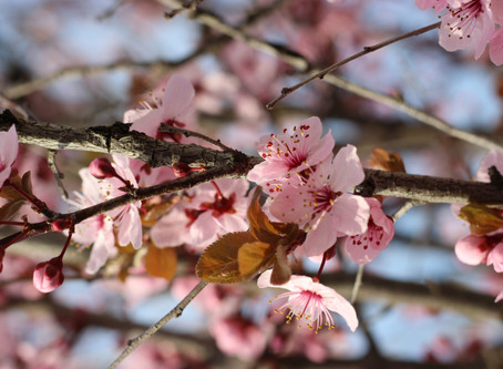 """""""Under the cherry-blossoms none are  utter strangers"""""""