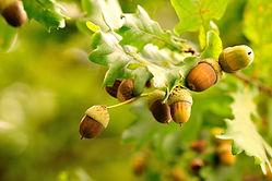 acorns-leaves-photo.jpg
