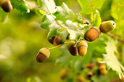 acorns-leaves-photo.jpg