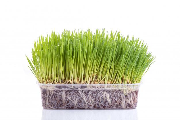 Herbe de blé fraîche en culture