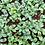 Thumbnail: Micro-pousses de Bourrache