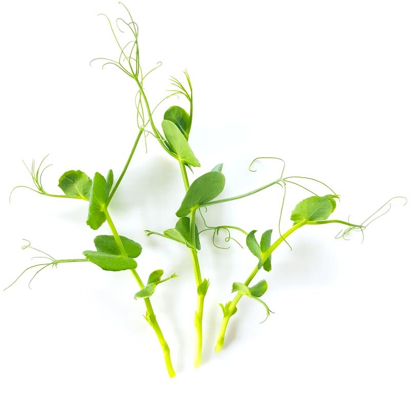 Jeunes pousses de pois vert frisés