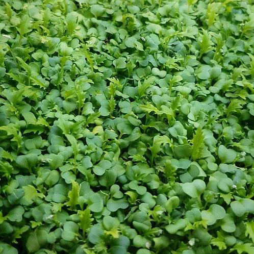 Micro-pousse de Mizuna vert