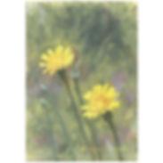 dandelions1024.jpg