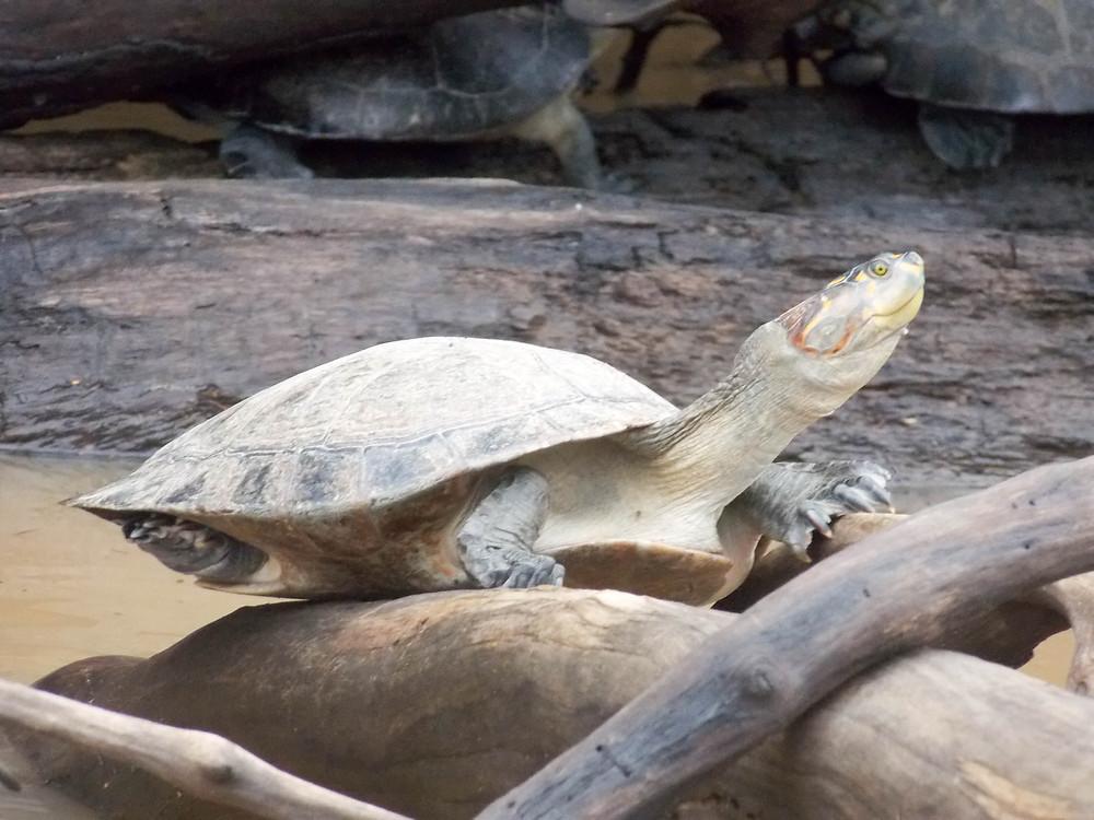turtle amazon