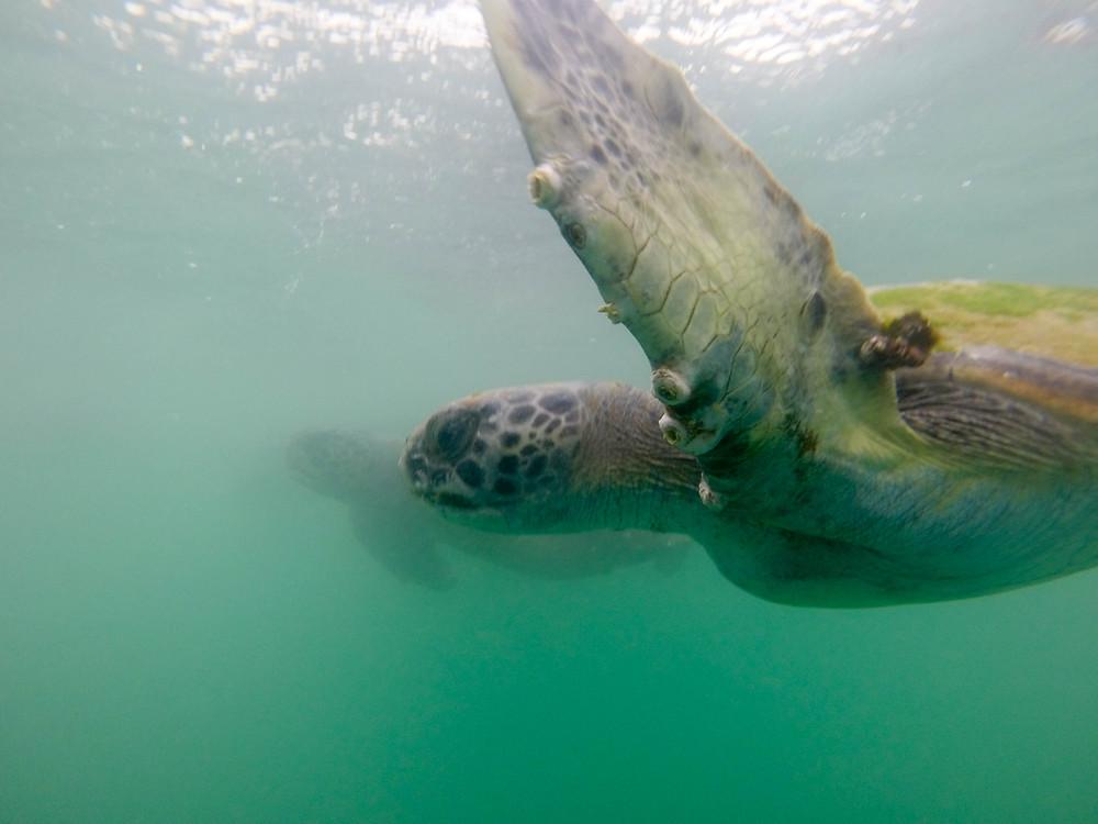 snorkel sea turtles peru