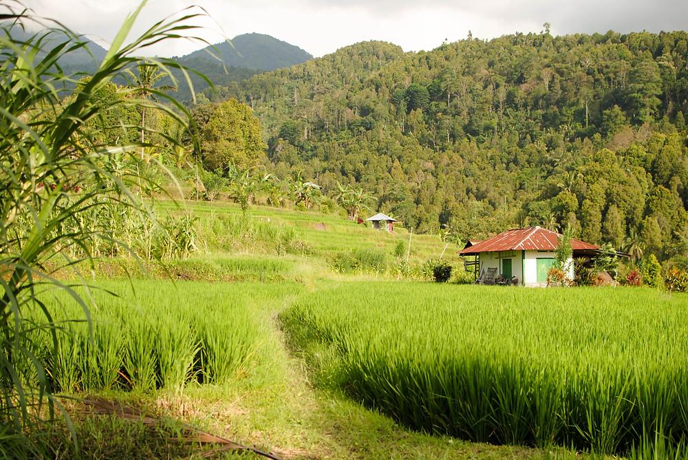 rice field munduk
