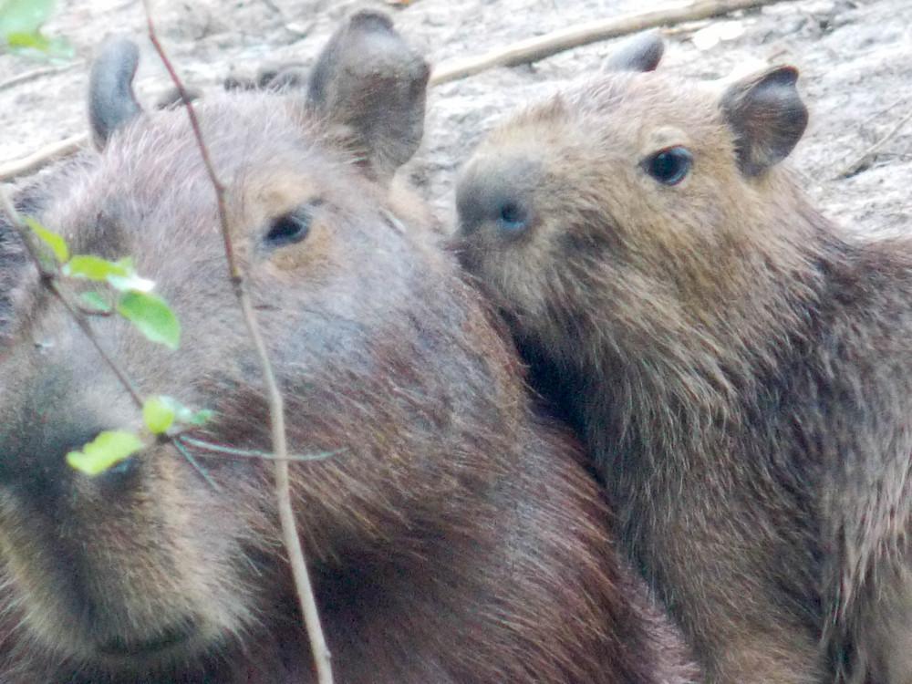capybara amazon