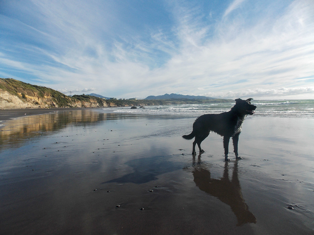 Taranaki Beach Dog