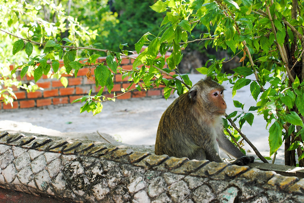 monkey cambodia
